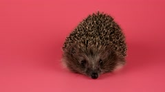 Hedgehog looking forward and sniffing, closeup, isolate on pink background - stock footage