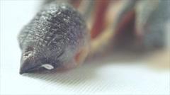 Dehydrated Head and beak of Newly fledged black bird Stock Footage