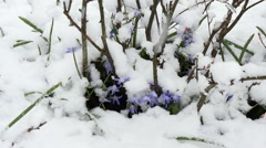 Squill (Scilla) flowers under snow Stock Footage
