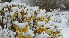 Yellow flowers, busch, snowing, slowmo Stock Footage