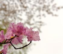 Cherry Blossom with Soft focus and color filter, Sakura season Background. - stock photo
