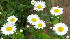 4K Oxeye Daisy Stock Footage