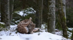 Eurasian lynx grooming fur in forest during snow shower in winter Stock Footage