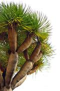Detail of a dragon tree in Madeira - stock photo