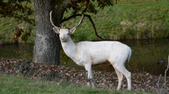 Leucistic white fallow deer (Dama dama) buck in forest in autumn Stock Footage