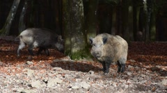 Wild boars foraging in broad-leaved forest in autumn Stock Footage