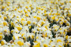 Flower. Beautiful white flowers in spring garden, vibrant floral background - stock photo