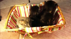 children kittens Maine Coon in a basket - stock footage