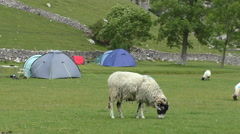 Sheep grazing grass near tents in camping site Stock Footage