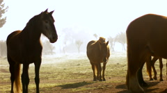 Brown horses on green meadow Stock Footage