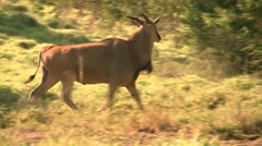 Eland Bull-Closer Troting Away- Stock Footage
