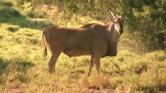 Eland Bull-Closer Turning Away Stock Footage