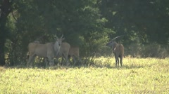 Eland Herd Stock Footage
