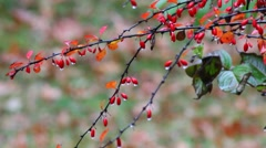 Barberry branches in Autumn season in rain. Stock Footage