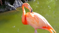 Flamingo shaking head and cleaning itself while standing in water Stock Footage