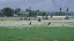 Flock of Birds Fly Along Field in Morning Light - stock footage