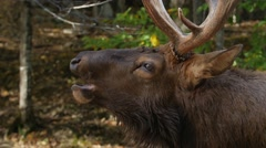 Close up of large Elk with antlers opening mouth Stock Footage