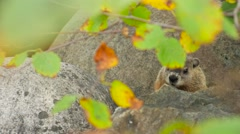 A ground hog sitting in between large rocks 3 Stock Footage