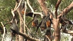 Grey-headed Flying Fox Bats at Camp in Eucalyptus Forest Stock Footage