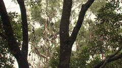 Grey-headed Flying Fox Megabat Colony in Trees in Australia Stock Footage