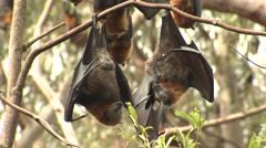 Flying Fox Bats Hanging Upside Down from Branch in Tree Stock Footage
