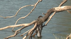 Australian Darter Bird on Branch at Wetland in Australia Stock Footage