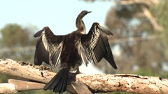 Australasian Darter Bird Drying Wings Stock Footage