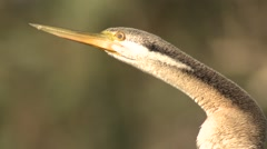 Australasian Darter Bird with Long Bill in Australia Stock Footage