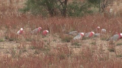 Pin and Grey Cockatoo or Galah Flock Feeding on Ground in Australia Stock Footage