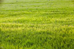 Green cereals, close-up Stock Photos
