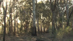 Slow Pan of Dry Eucalyptus Forest in Australia Stock Footage