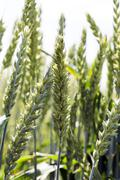 agricultural field wheat - stock photo