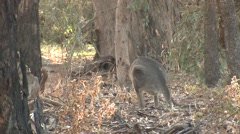 Eastern Grey Kangaroo Hopping Away in Eucalyptus Forest Stock Footage