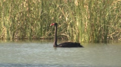 Wild Black Swan Swimming in Wetland Pond in Australia Stock Footage