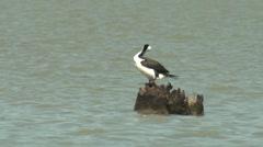 Black-faced Cormorant Bird on Snag in Lake Stock Footage