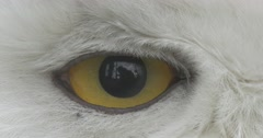 Bird's Yellow Eye Pupil Gets Bigger Smaller White Head of the Polar Owl Stock Footage