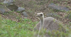 Ostrich is Feeding Raises Head and Leans Down Struthio Camelus Excursion to the Stock Footage