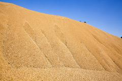 wheat crop , cereals - stock photo