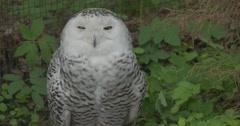 Polar Owl Turns Its Head in the Aviary of the Zoo Summer Day Animals Stock Footage