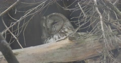Owl Sits in the Nest Deeply in Tree Branches - stock footage