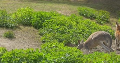 Kangaroo is Walking Leaned on Its Tail Looking For Fresh Grass Summer Day the Stock Footage