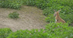 Small Kangaroo Among Grass Scratching Its Side Zoo Summer Day Observing of Stock Footage