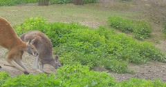 Two Kangaroos Are Passing by Camera Look For Food in the Zoo in Summer Day Stock Footage