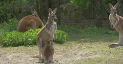 Kangaroos Look Around and Move Their Ears Meadow in the Zoo in Summer Sunny Day Stock Footage