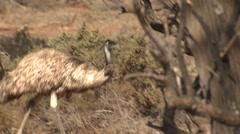 Emu Walking Through Mallee Forest in Australia Stock Footage