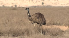 Emu Walking Across Desert Shrubland at Mungo National Park in Australia Stock Footage