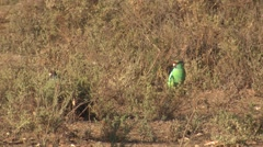 Australian Mallee Ringneck Parrot in Australia Outback Stock Footage