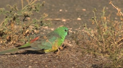 Red-rumped Parrot Feeding in Australia Outback Stock Footage