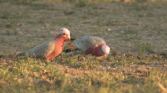 Pink and Grey Galah Cockatoo Bird Feeding on Ground Stock Footage