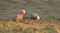 Pink and Grey Galah Cockatoo Bird Feeding on Ground - stock footage